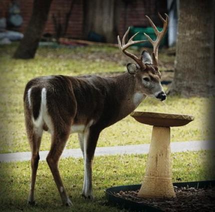 Controlling Urban Deer Overpopulation
