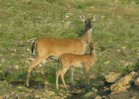 Breeding Success in white-tailed deer