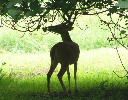 White-tailed Deer Food Preferences