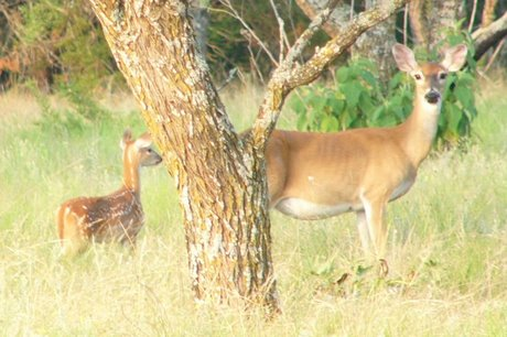 Effects of Food Availability on White-tailed Deer Reproduction