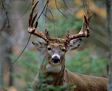 The Importance of Aging Deer