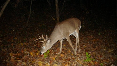 Checking Buck Scrapes for Activity