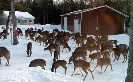 Too Many Deer - Problems With Overabundance