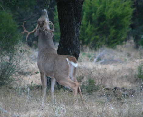 Finding Whitetail Buck Scrapes