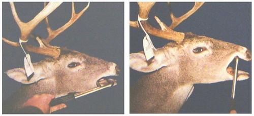 Aging Deer Teeth Using Jaw Bones