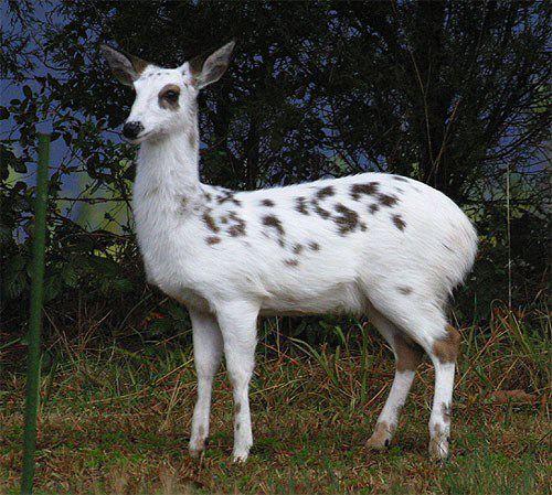 Piebald Deer : ... Whitetail Buck Drawings