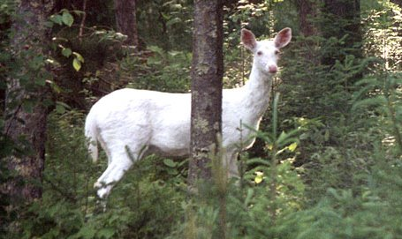 All About Albino White-tailed Deer