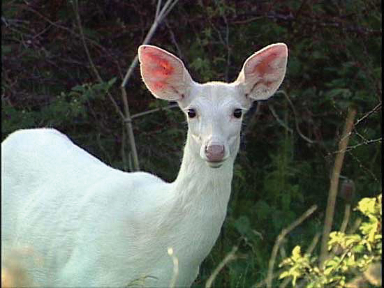 Albino Deer: Whitetail Doe