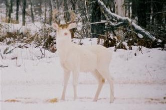 Albino White-tailed Deer Buck
