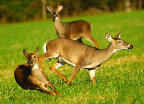 Breeding in White-tailed Fawns