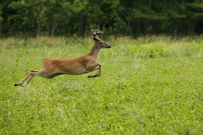 White-tailed Deer Facts