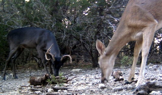 Color Variation in Whitetail: A Melanistic (Black) Buck