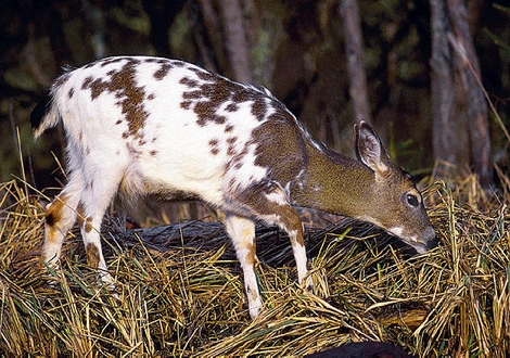 Abnormal Whitetail Deer Coloration