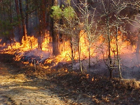 Prescribed Burning for the Management of White-tailed Deer