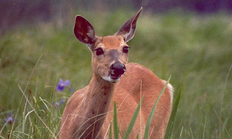 White-tailed Deer Facts 2