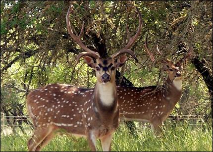 White-tailed Deer Versus Exotic Deer