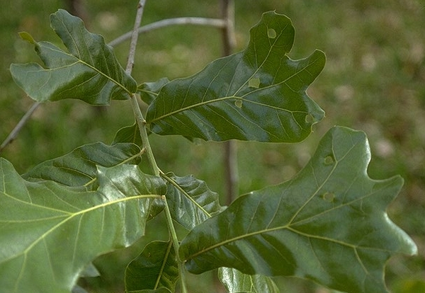 Blackjack oak diseases