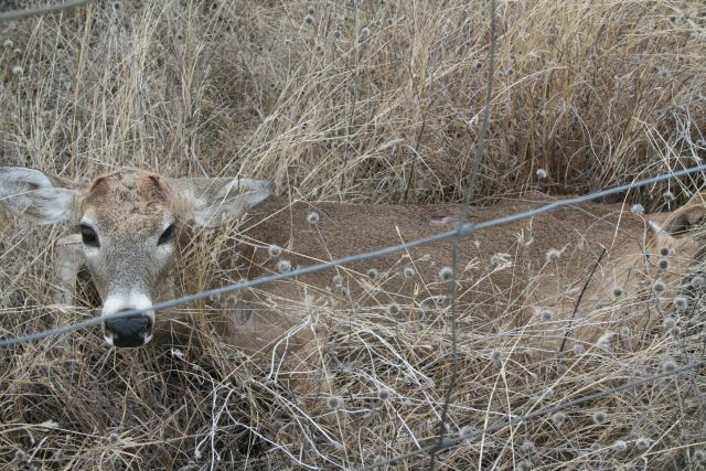 Barbed Wire Fences And White Tailed Deer