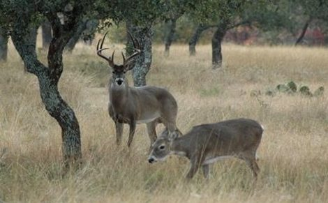 Whitetail Deer Buck and Doe