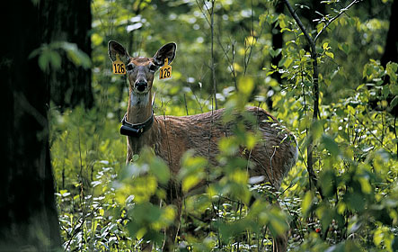 Deer research from Louisiana