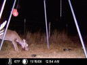 White-tailed Deer with Wart-like Tumors