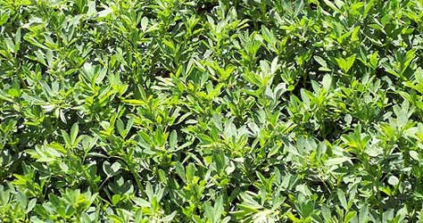 Dryland Alfalfa for Whitetail Food Plots