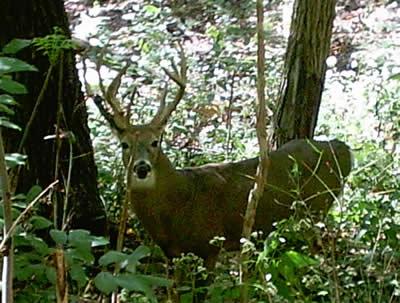 Deer Habitat Should Provide Deer Foods