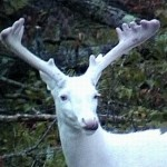 The Odds of Seeing an Albino Deer