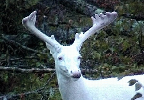 The odds of being an albino deer are low