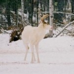 Photos of a Mature Albino Buck