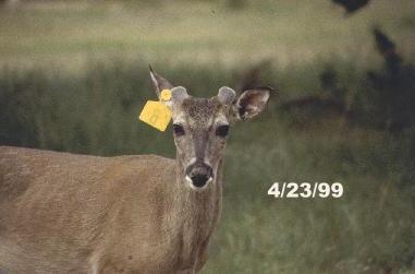 Antler Growth in Bucks