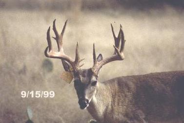 Older Bucks Grow Larger Antlers