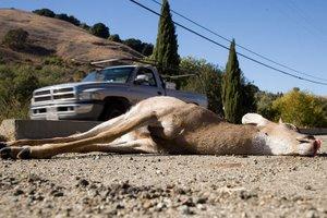 Deer hit by a vehicle