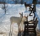 Two albino deer captured at a feeder in these photos