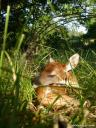 A white-tailed fawn sleeping in grassy habitat