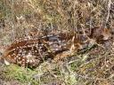 Fawns may appear abandoned, but they are not