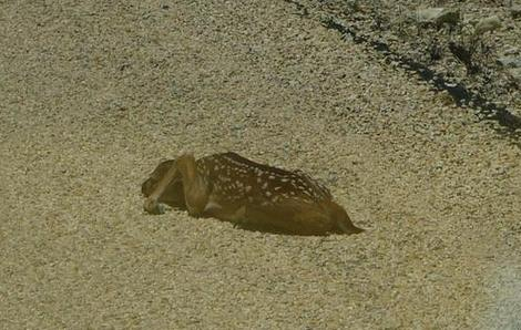 Deer Fawn on The Road