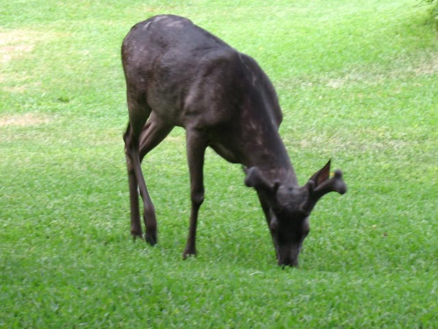 Melanistic Whitetail Deer The gallery for...