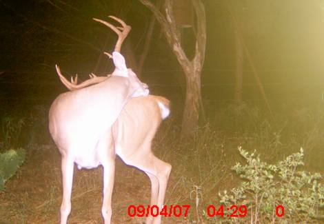 White-tailed buck captured on a game camera