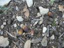 Live oak acorns on the ground