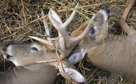 Whitetail bucks lock antlers during a fight