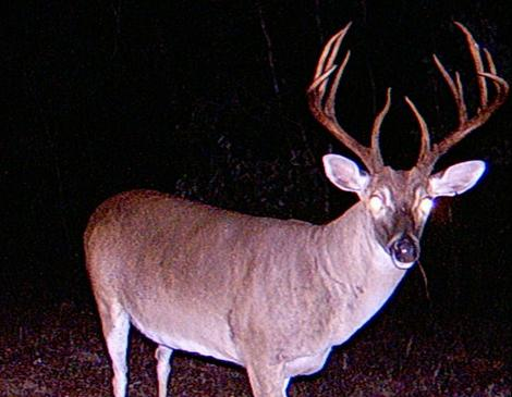 Buck Harvest Strategy and its Impact on Your Deer Herd