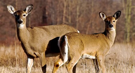 Shooting Does with Fawns