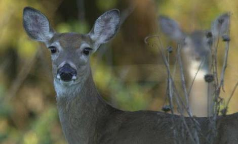 Texas' Late Season Allows Managers to Harvest Does and Spikes