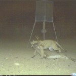 Deer Management and Thoughts on Predator Control