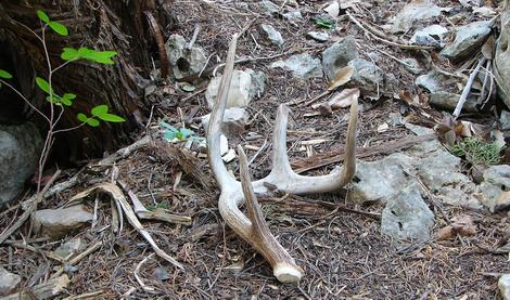 Finding shed antlers can be fun and informative