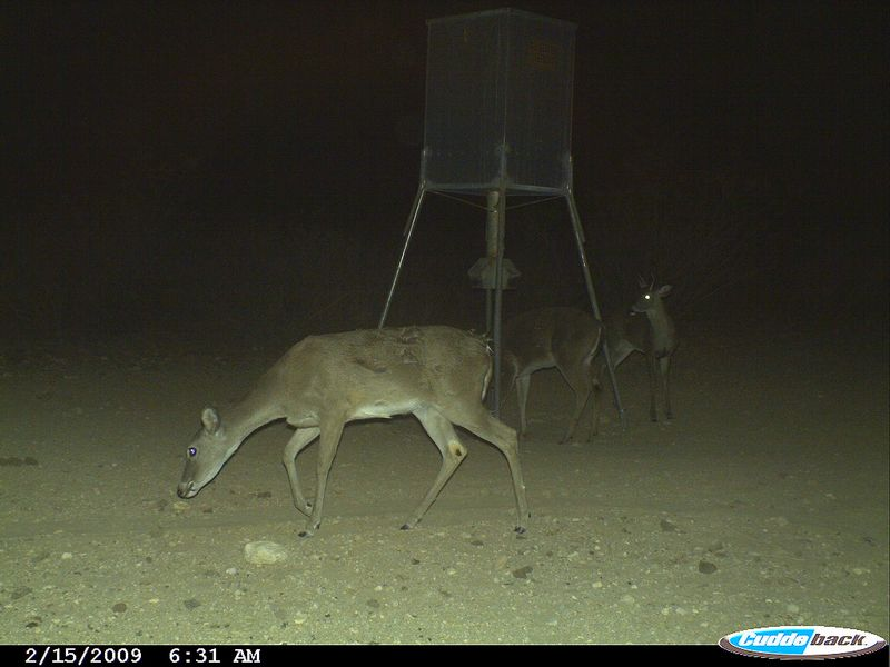 This photo caught a mountain lion near a feeder after killing a whitetail buck