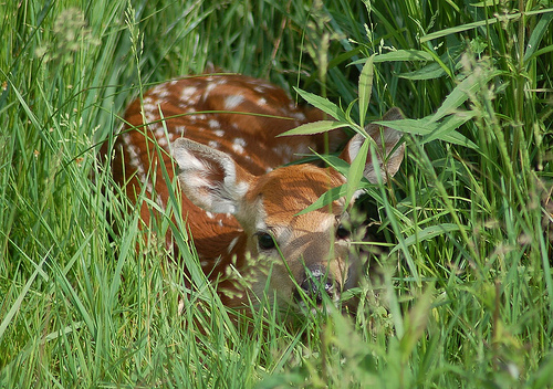 Providing good fawn habitat is good deer management.