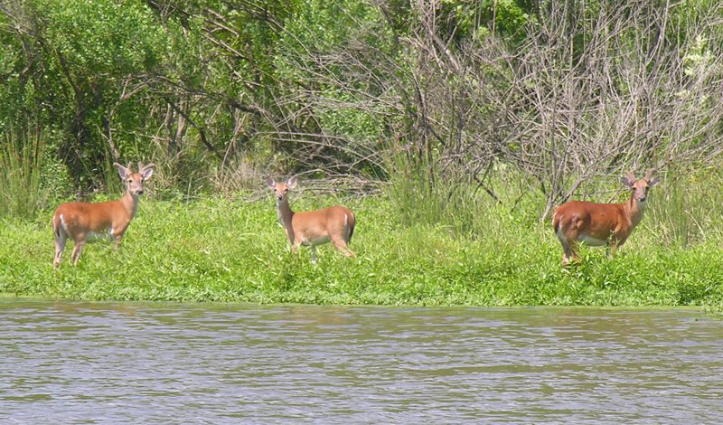 Whitetail Deer Management: Three whitetail bucks take a drink on the outskirts of Houston