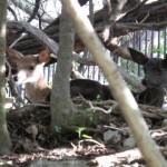 Melanistic Whitetail Fawn Photos
